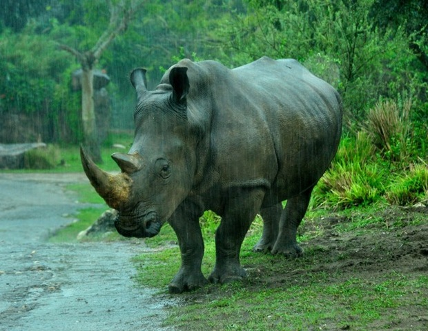 A rhino at Disney's Wild Africa Trek
