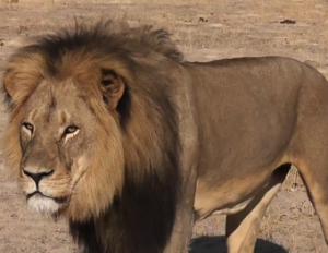 Celebrity Outrage Over Death of 'Cecil the Lion' Ignites Twitter and Facebook