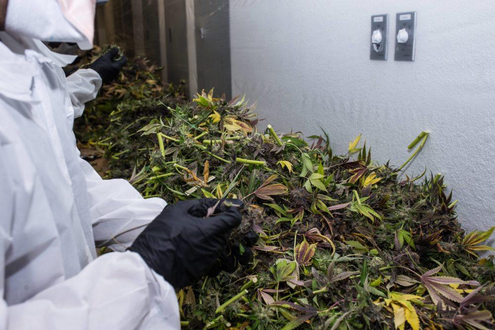 GFive cannabis cultivation