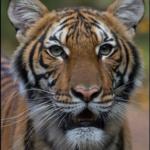 Tiger The Bronx Zoo