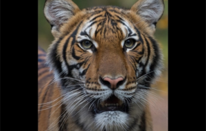 Tiger Tests Positive for COVID-19 at The Bronx Zoo in New York City