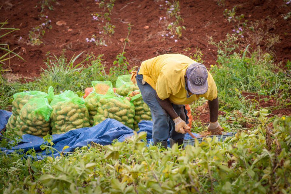Jamaica farmer